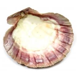 Saint Jacob's shell (14cm)